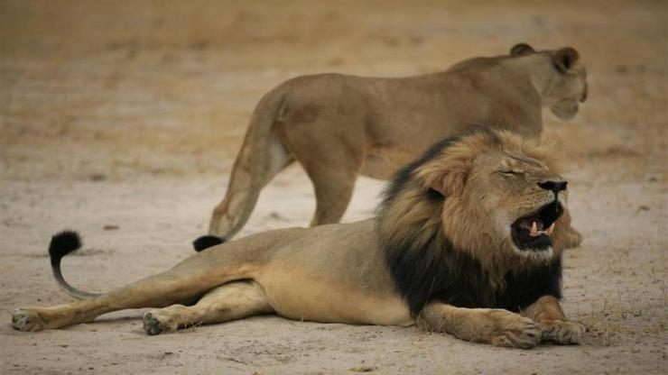 GOD POWER - FELINE POWER: THE KILLING OF CECIL THE LION BRINGS TO OUR ATTENTION THE HUGE PROBLEM OF AFRICAN LION HUNTING.