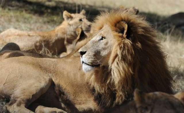 GOD POWER - FELINE POWER: LIONS AT LION PARK, SOUTH AFRICA.