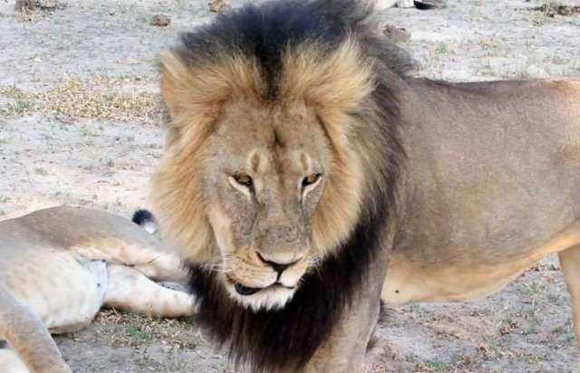 GOD POWER - FELINE POWER: THE KILLING OF CECIL THE LION. PHOTO IMAGE CREDIT. PAULA FRENCH via AP