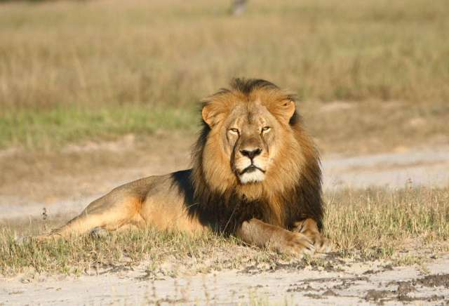 GOD POWER - FELINE POWER: PUMA PUNKU DIVINE SOCIETY CONDEMNS KILLING OF LIONS AS SPORT OR FOR RECREATION. MAN HAS TO LEARN THE ART OF HUMILITY AND TREAT FELINE POWER WITH RESPECT.