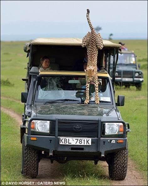BIG CATS OF MASAI MARA NATIONAL GAME RESERVE, KENYA, AFRICA. GAVE BIG SURPRISE.