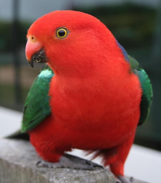 ... ,photo,parrot for sale,parrots,parrot,birds for sale,parrots for sale