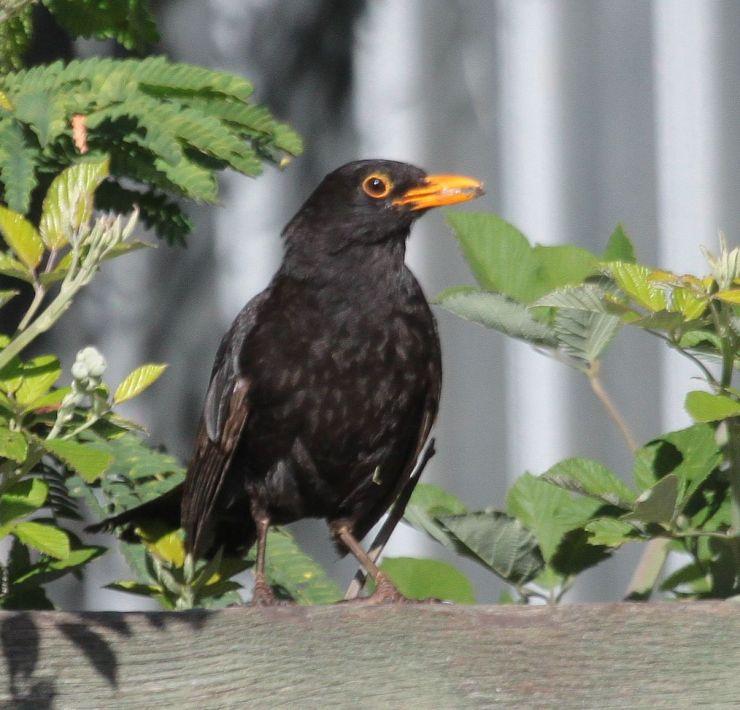... Waring's Birds of Australia: Birds of Victor Harbour, South Australia