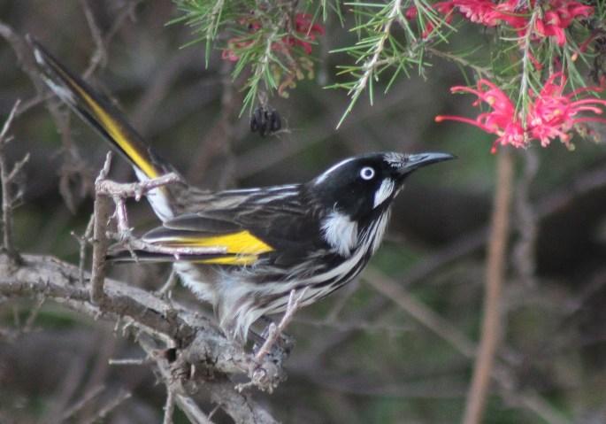Richard Waring's Birds of Australia: Canberra Birds 6 - Australian ...